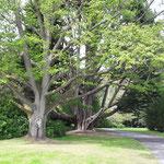 .....im Garten an. Riesige, uralte Bäume empfangen uns