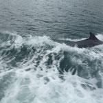 Das ist Fungie, der Dingle Delphin. Er liebt Motorboote und schwimmt vollgas nebenher, ein echter Petrolhead eben!
