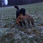 19 Monate, der erste frisch erlegte Fuchs