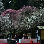 梅の百草園  撮影者 山本英次