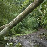 Spazierweg im Regenwald