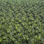 Ölpalmenplantage