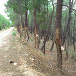 """Gewinnung von Harz für Terpentin und Kolophonium, Die Handhabung des Harzens """"Resinagem"""" ist in Portugal gesetzlich geregelt"""