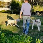 Ein Schaf mit 3 Hunden
