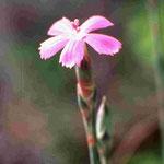 Sandnelke ssp. end.
