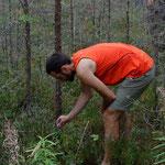 Heidelbeer-Schlemmen im Wald. Estland