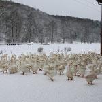Gänse im Schnee am Kronauer Hof