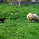 Schafe mit Lamm auf der Sommerwiese