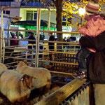 Das Interesse an den Schafen ist sehr groß