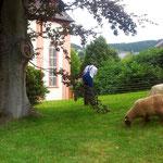 Schafe unter dem Kirchturm