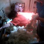 Die Wolle wird nun auf einem Brett ausgelegt und der Maschine zugeführt