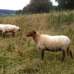 Erwartungsvolle Schafsdamen