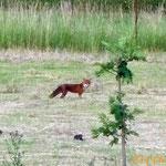 Le renard à la tombée de la nuit (Le photographe s'est posté pendant deux heures sans bouger pour avoir cette photo !)