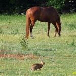 Un cheval et un lièvre sur la route de Revelon