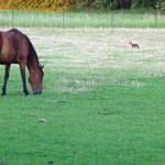 Un renard dans la pâture avec le cheval