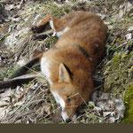 Un renard tué par les garde-chasse