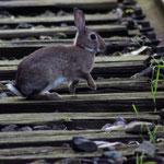 Un lapin sur la ligne de chemin de fer
