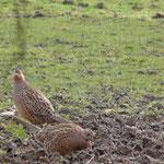 Deux poules faisannes