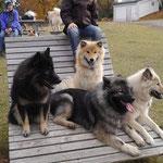 Bakira-Anouk, Bayuma von den Golanhöhen, Akita und Amy (hinten)