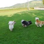 Akita, Bajuma und Amy beim spielen