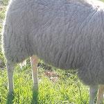 Gespot: Een wolf in schapenvacht