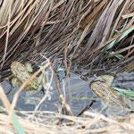 Erdkröten (Bild: Melina Frenzel)