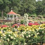 赤・黄など色とりどりのばらの写真です。群馬県前橋市のばら園にて。