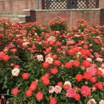 濃いピンクのバラの写真です。群馬県前橋市のばら園にて。