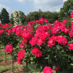 赤いバラの写真です。群馬県前橋市のばら園にて。