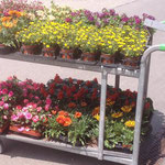 Sommerfloor / Geranien liefern