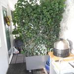 Innenhof mit Fixfertighecke bepflanzen