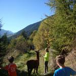 mitten am Weg stehen Lamas herum