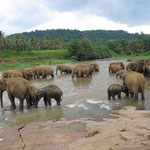 Pinnawala - Elephant Orphanage