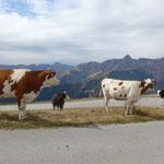 Verdutzte Kühe