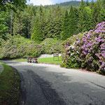 Rhododendron ohne Ende… in Trivero am Bielmonte
