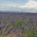 Lavendelfelder bei Valensole