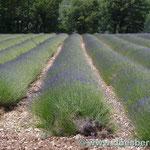 der Lavendel blüht noch nicht in voller Pracht