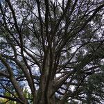 Uralter Baum im Kurpark Levico Terme