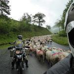 Warten in der Schafherde bis es weiter gehen kann