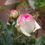Rosen Ferienwohnung Gartenidylle Ostfriesland Leer