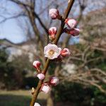 裏庭のアンズ。初めて開花。実がつくかな?