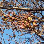 公園のさくら、つぼみふくらむ。明日(3月30日)は金沢で開花宣言とか。