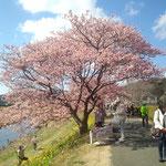 16日。早咲のカワズザクラ。