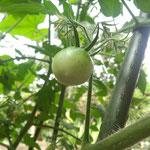 9日。トマトが実をつけました。大きくなりますように。