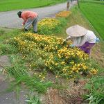 土手の花壇の除草をしている。