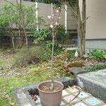 8日。アンズの幼木にも花が咲きました。越冬できたようです。