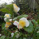 10月17日、庭のチャが花ざかり。ミノムシも見つけました(赤い丸で囲んだところ)。