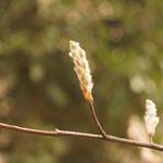 庭のジューンベリ-の花