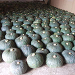 味平かぼちゃも収穫時期です。