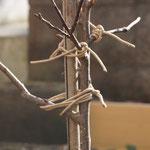 庭のアンズ。折れた枝の手当をしました。つながって欲しい!